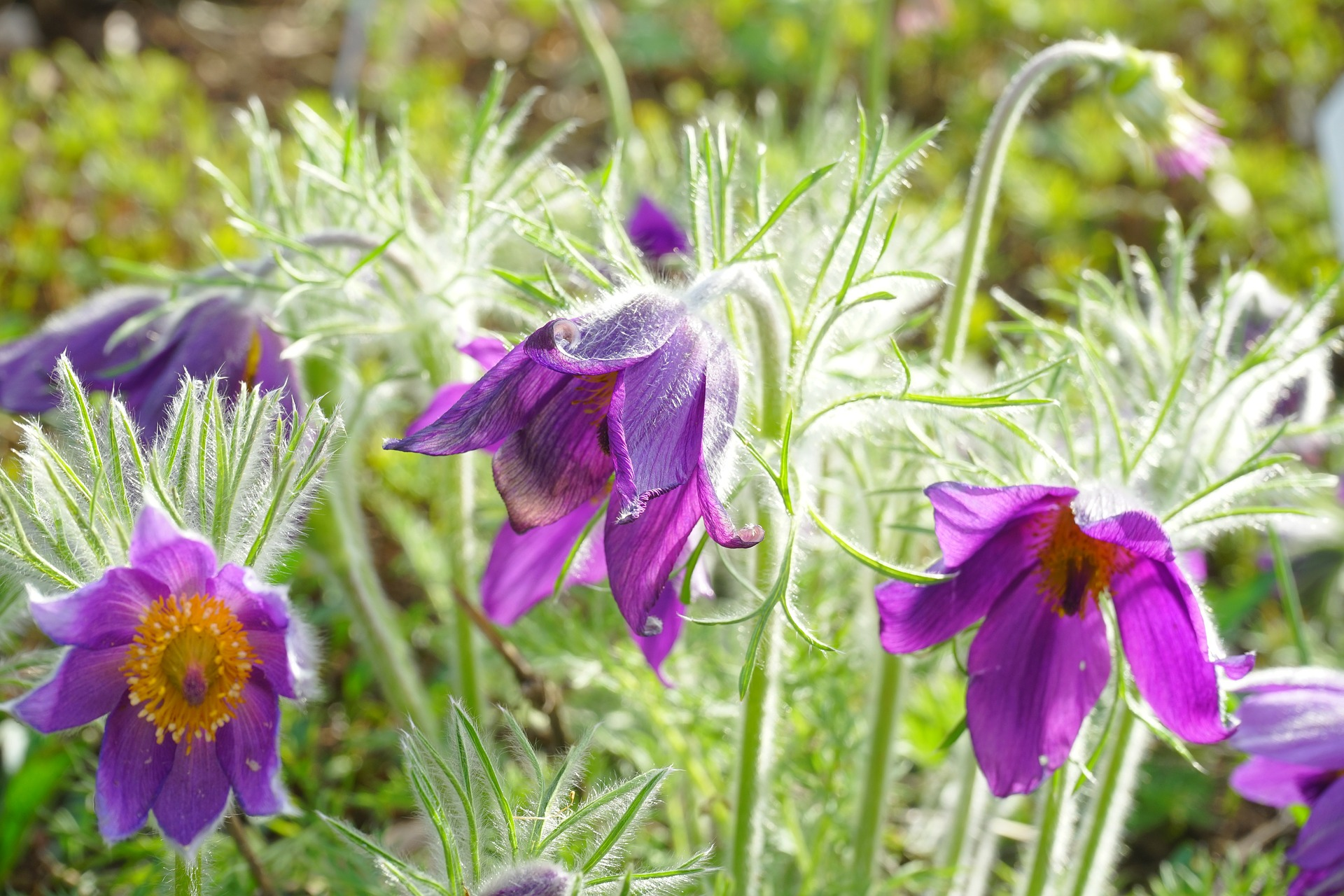 common pasque flower 324424 1920